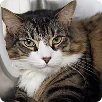 Adopt A Pet :: Gizmo Maine Coon - Westerly, RI