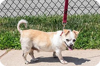 Chihuahua Mix Dog for adoption in Bridgewater, New Jersey - Chester