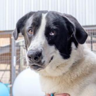 Great Pyrenees Mix Dog for adoption in Blairsville, Georgia - Goofy
