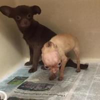 Adopt A Pet :: Romeo - Clarkesville, GA