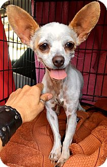 Chihuahua Dog for adoption in Los Angeles, California - Marshmallow
