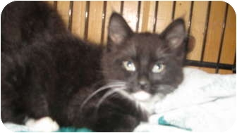 Domestic Longhair Kitten for adoption in Clay, New York - Tilly,<Tully