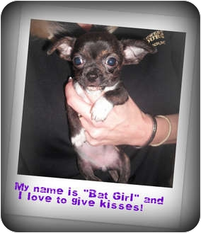 Chihuahua Puppy for adoption in Jacksonville, Florida - Bat Girl