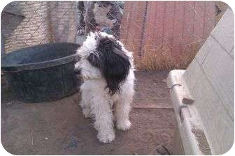 Poodle (Miniature)/Terrier (Unknown Type, Medium) Mix Dog for adoption in Anza, California - Sneakers