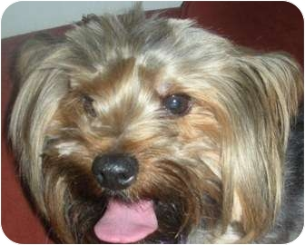Yorkie, Yorkshire Terrier Dog for adoption in Sacramento, California - Kerry