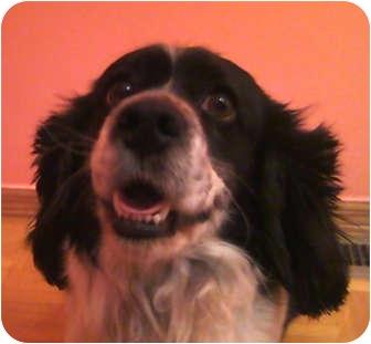 Spaniel (Unknown Type) Mix Dog for adoption in Schaumburg, Illinois - Oreo