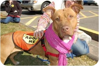 American Staffordshire Terrier/Shar Pei Mix Dog for adoption in Middletown, Connecticut - Sweet Pea