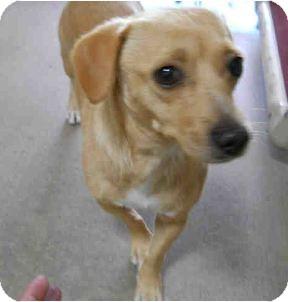 Dachshund/Chihuahua Mix Dog for adoption in San Clemente, California - TOOTSIE