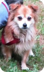Pomeranian/Spaniel (Unknown Type) Mix Dog for adoption in Bloomfield, Connecticut - Harpo