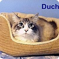 Adopt A Pet :: Duchess - Medway, MA