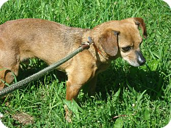 Dachshund Mix Dog for adoption in Coudersport, Pennsylvania - HARVEY