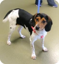 Harrier Mix Dog for adoption in Harrisonburg, Virginia - Jacqueline