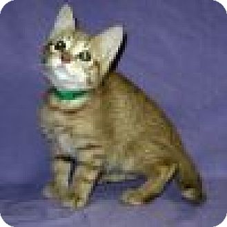 Domestic Shorthair Kitten for adoption in Powell, Ohio - Andy