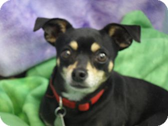 Chihuahua Mix Dog for adoption in Fort Lupton, Colorado - Cooper