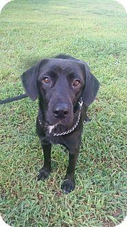Labrador Retriever Mix Dog for adoption in Waldorf, Maryland - Missy