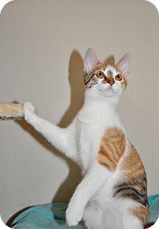 Domestic Shorthair Kitten for adoption in Danbury, Connecticut - Harper