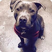 Adopt A Pet :: Apollo - Las Vegas, NV