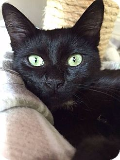 Domestic Shorthair Kitten for adoption in Eureka, California - Violet Juliet