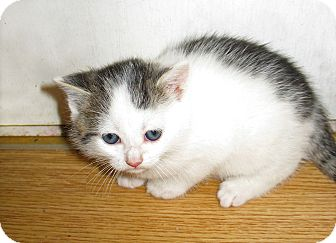 Domestic Shorthair Kitten for adoption in Queensbury, New York - Hulk
