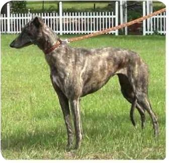 Greyhound Dog for adoption in Tampa, Florida - Zori