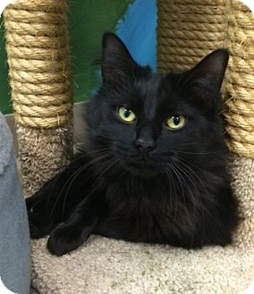 Domestic Longhair Cat for adoption in Byron Center, Michigan - Little Bear