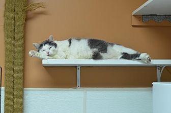 Domestic Shorthair Cat for adoption in Atlanta, Georgia - Ollivander151181