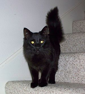 Domestic Mediumhair Cat for adoption in San Diego, California - Coco