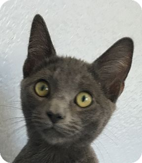 Domestic Shorthair Kitten for adoption in Winchester, California - Donald