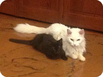Domestic Shorthair Kitten for adoption in Grand Junction, Colorado - Skidmore