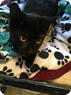 Domestic Shorthair Kitten for adoption in Hanna City, Illinois - Onyx