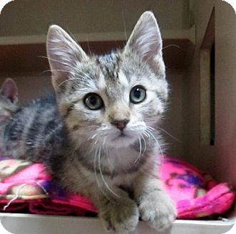 Domestic Shorthair Kitten for adoption in Lloydminster, Alberta - Frost