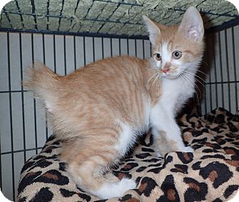 Domestic Shorthair Kitten for adoption in North Wilkesboro, North Carolina - Pluto