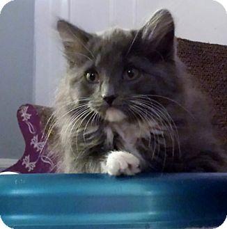 Domestic Longhair Kitten for adoption in Kalamazoo, Michigan - Asha - Chelsea