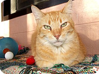 Domestic Shorthair Cat for adoption in Peace Dale, Rhode Island - Popeye