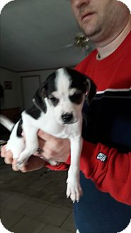 Beagle/Terrier (Unknown Type, Small) Mix Puppy for adoption in Wytheville, Virginia - Jack