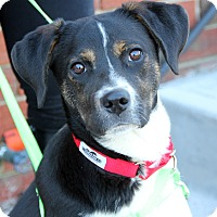 Border Collie/Labrador Retriever Mix Puppy for adoption in Harrison, New York - Laverne