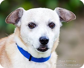 Beagle/Chihuahua Mix Dog for adoption in Westminster, California - Orson