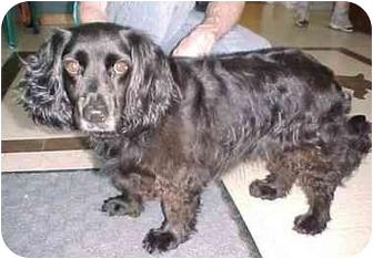 Cocker Spaniel Mix Dog for adoption in North Judson, Indiana - Barbie