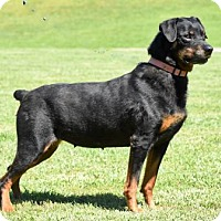 Rottweiler Dog for adoption in Hagerstown, Maryland - LOVEY