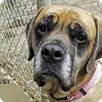 Adopt A Pet :: Nala - South Bend, IN