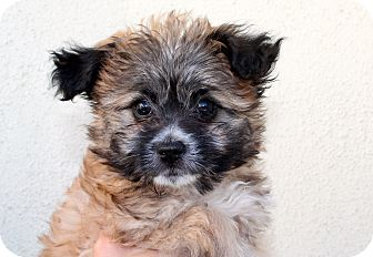 Havanese/Poodle (Miniature) Mix Puppy for adoption in Los Angeles, California - Raisin