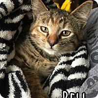 Domestic Shorthair Kitten for adoption in Bonsall, California - Bell