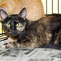 Adopt A Pet :: Tortie Mom - Bishopville, SC