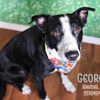 Adopt A Pet :: George - Lonely Heart - Gulfport, MS