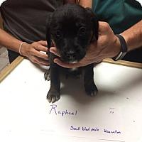 Adopt A Pet :: Raphael - Springfield, MO