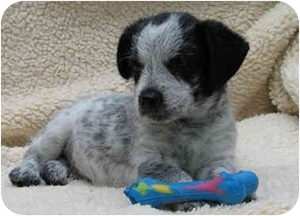 Poodle (Standard)/Terrier (Unknown Type, Small) Mix Puppy for adoption in San Diego (all areas), California - Powell