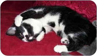 American Shorthair Kitten for adoption in Alexandria, Virginia - Clark Griswold