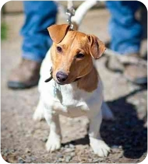 Jack Russell Terrier Dog for adoption in Rhinebeck, New York - Timmie 2