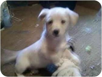 Australian Cattle Dog Mix Puppy for adoption in Yakima, Washington - Nelly