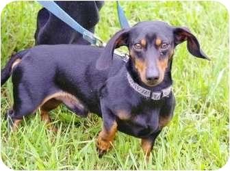 Dachshund Mix Dog for adoption in Ladysmith, Wisconsin - Bobo